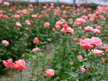 大湖採果‧灣潭玫瑰草莓園